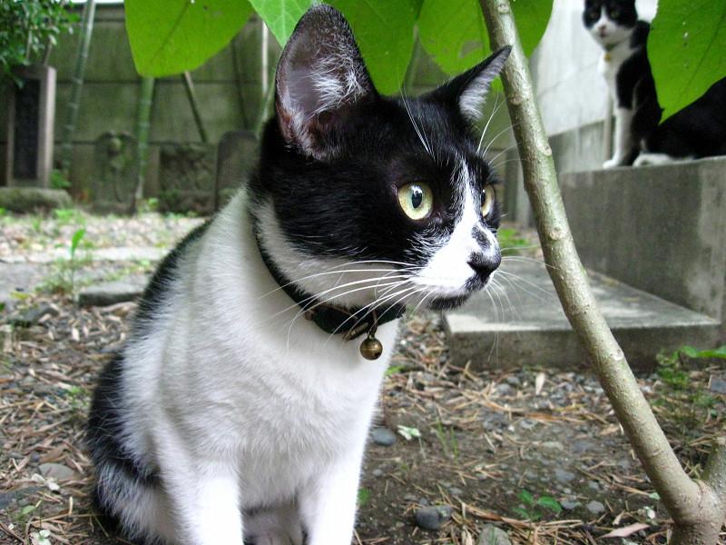 ローアングルで白黒猫