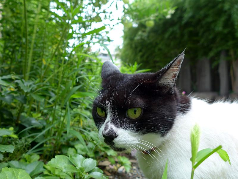 振り返った白黒猫2