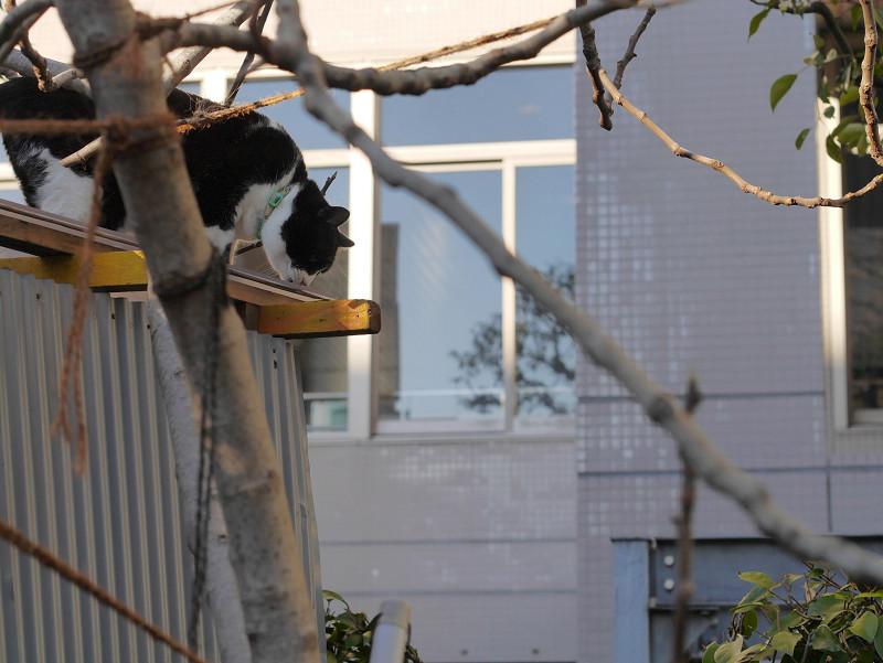 小枝とトタン屋根と黒白猫2