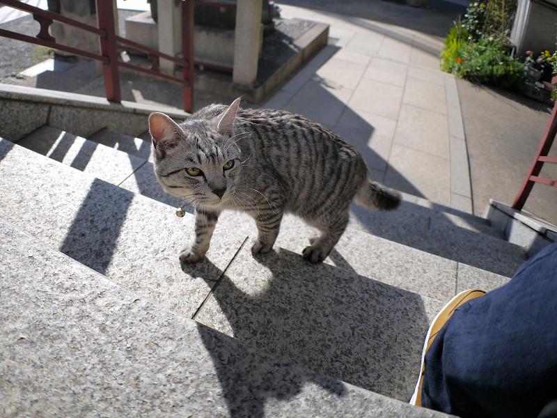 今日も階段を上がるサバトラ猫3