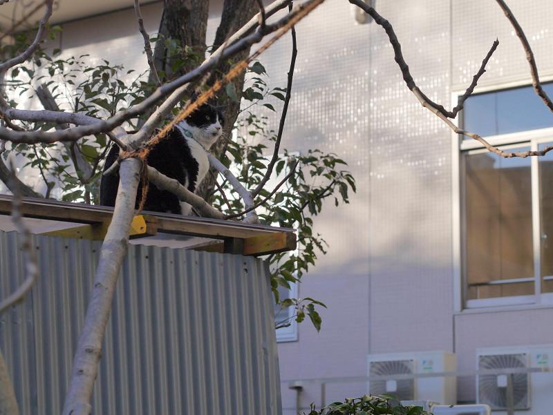 小枝とトタン屋根と黒白猫3