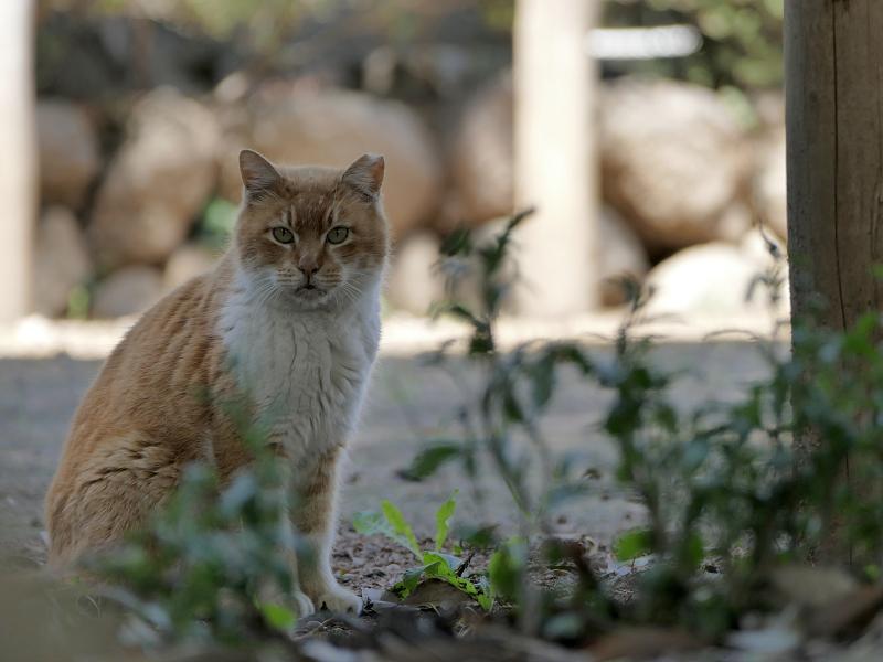 日向と日陰の間の茶白猫1