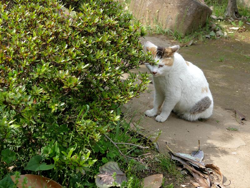 低木の向こうの白三毛猫1