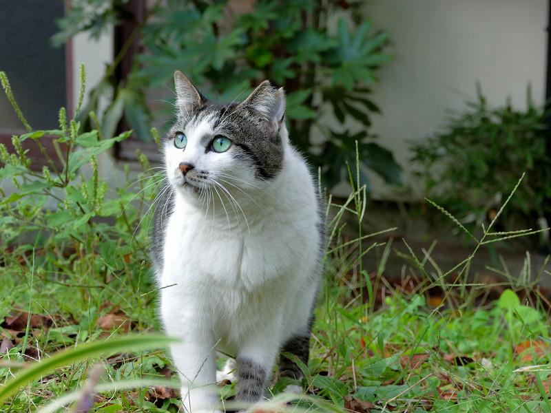 公園の白キジ猫1
