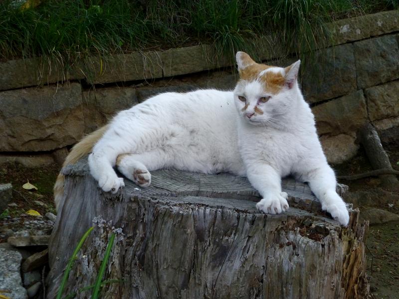 切り株上で耳を水平にする白茶猫1