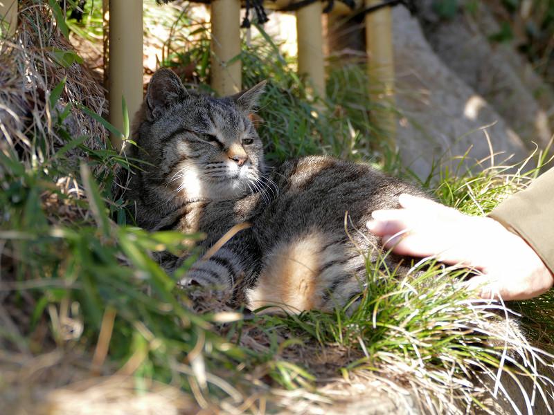 草むらでうっとり顔のキジトラ猫1