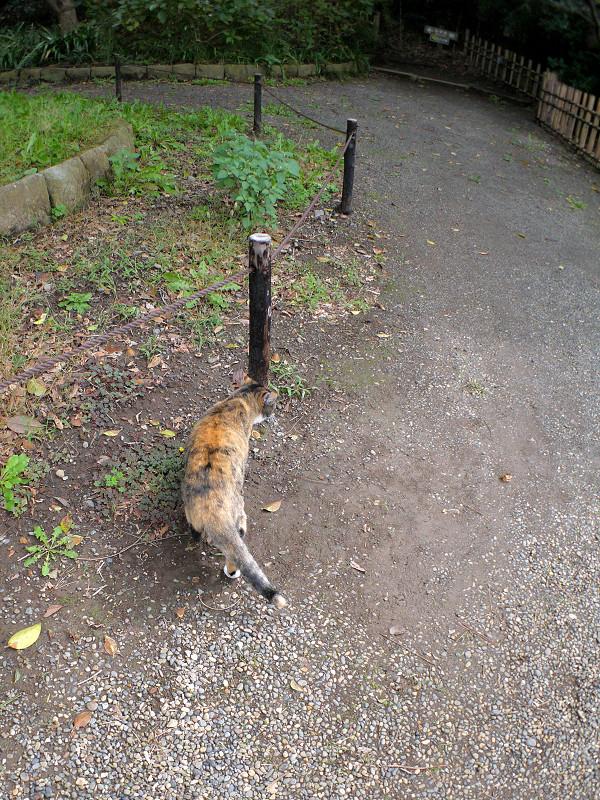 土道を歩く三毛猫2