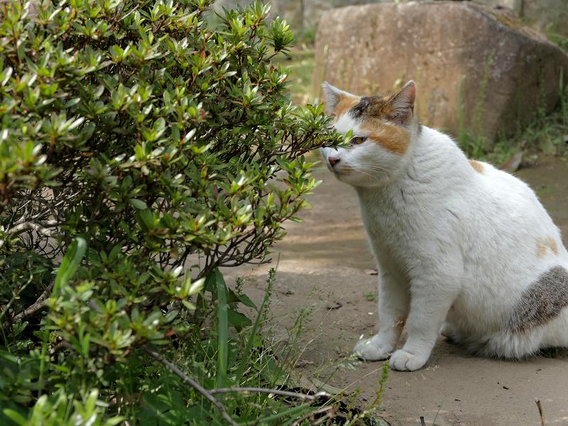 低木の向こうの白三毛猫2