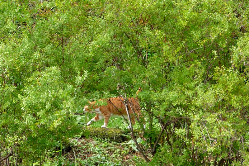 草むらを歩く茶白猫2