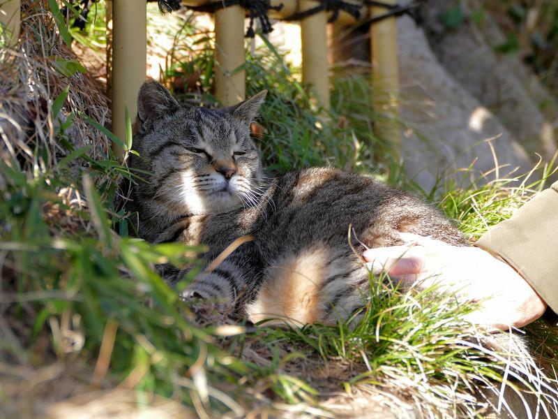 草むらでうっとり顔のキジトラ猫2
