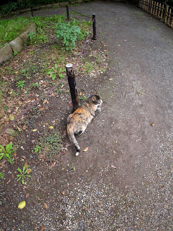 土道を歩く三毛猫3