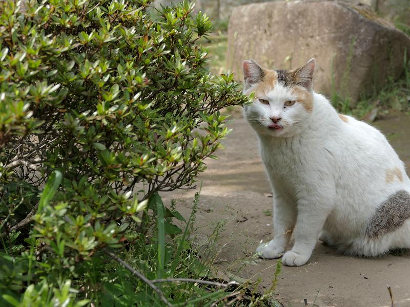 低木の向こうの白三毛猫3