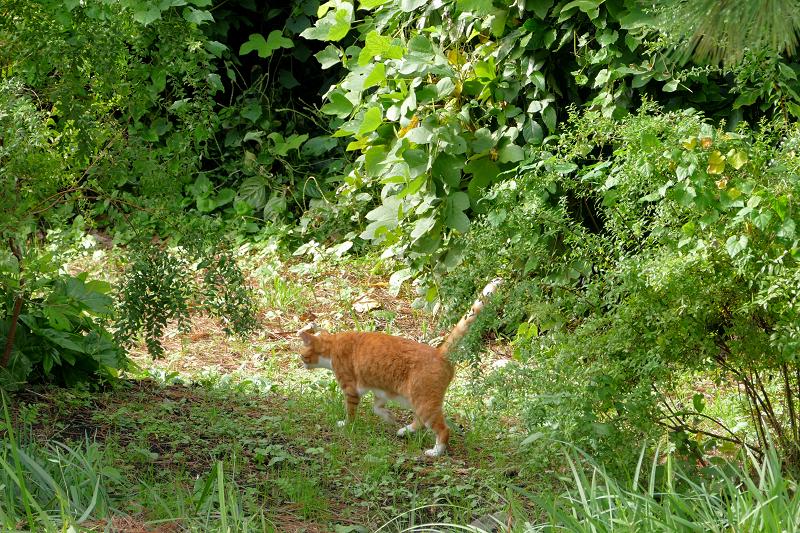 草むらを歩く茶白猫3