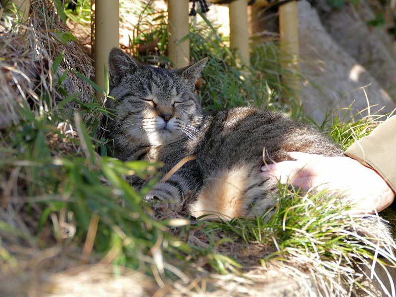 草むらでうっとり顔のキジトラ猫3