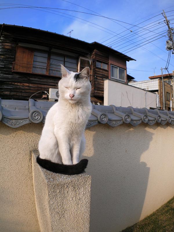 塀に座ってる白黒猫1