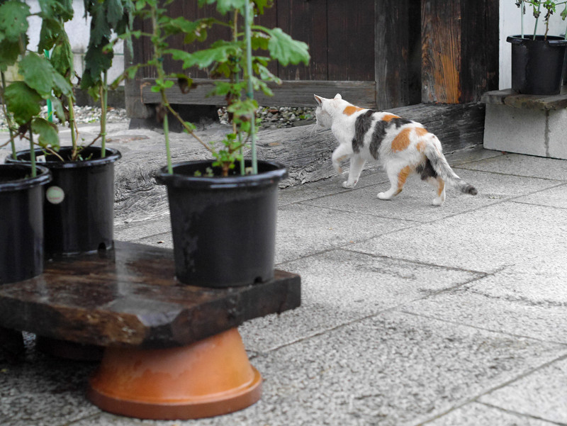 門前の薄三毛猫1