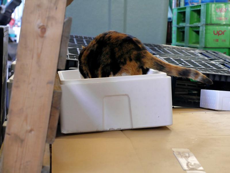 発泡スチロール箱に入った三毛猫1