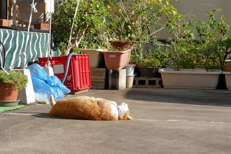 駐車場の寝ながら伸びをする茶白猫1