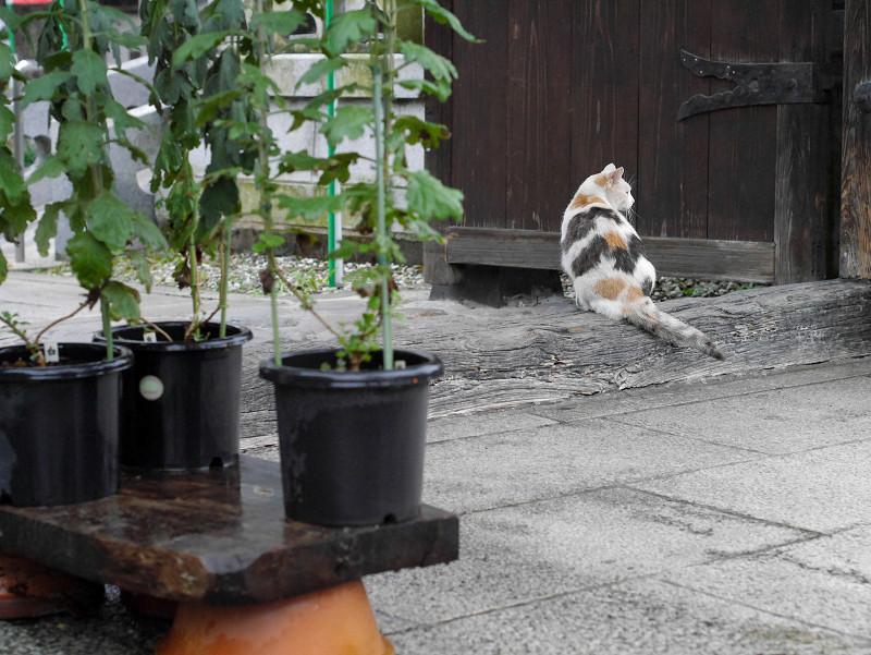 門前の薄三毛猫2