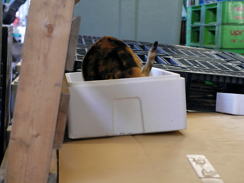 発泡スチロール箱に入った三毛猫2