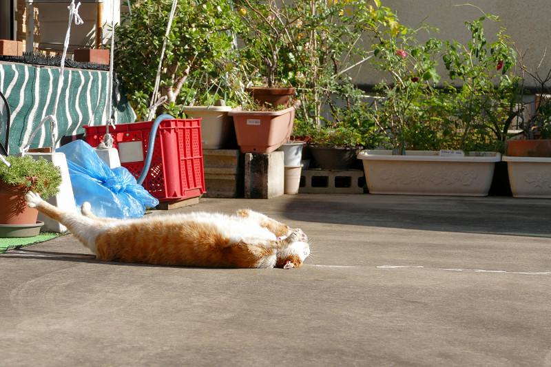 駐車場の寝ながら伸びをする茶白猫2