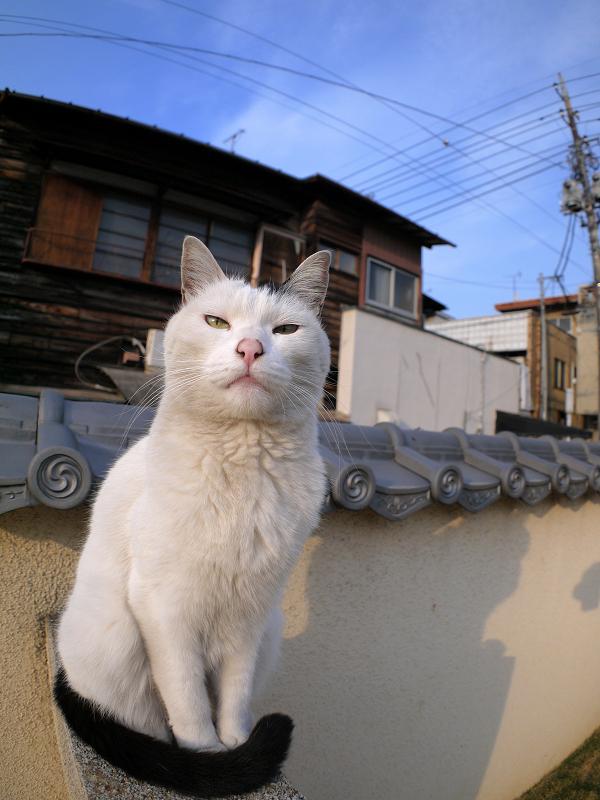 塀に座ってる白黒猫3