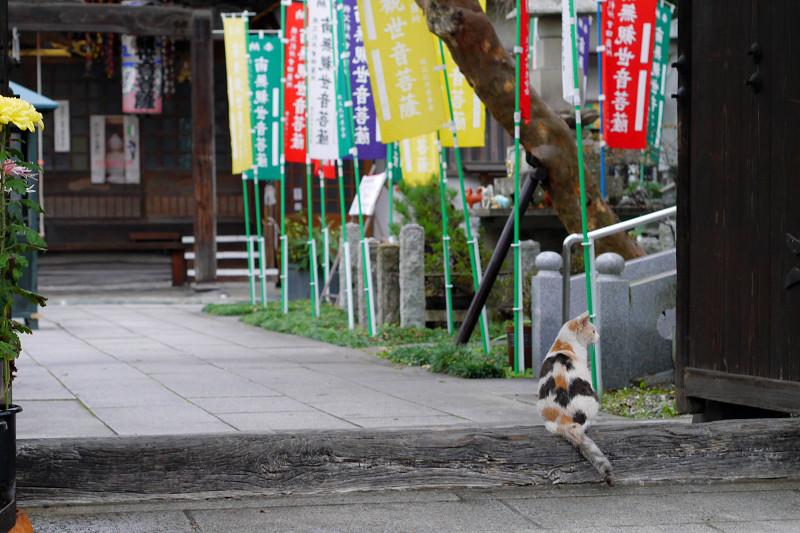 門前の薄三毛猫3