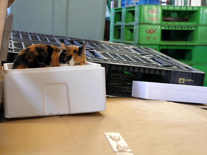 発泡スチロール箱に入った三毛猫3