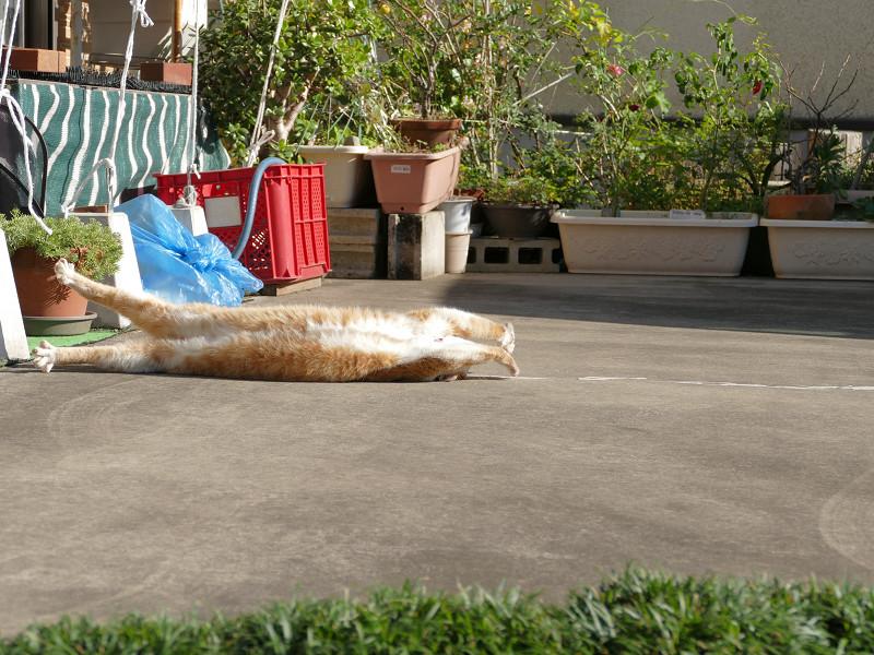 駐車場の寝ながら伸びをする茶白猫3