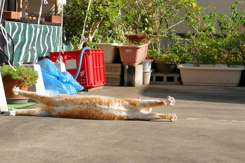 駐車場の寝ながら伸びをする茶白猫4