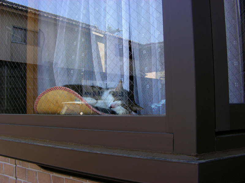 窓ガラス越しのキジ白猫1