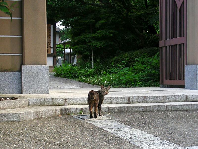 門前のキジトラ猫1