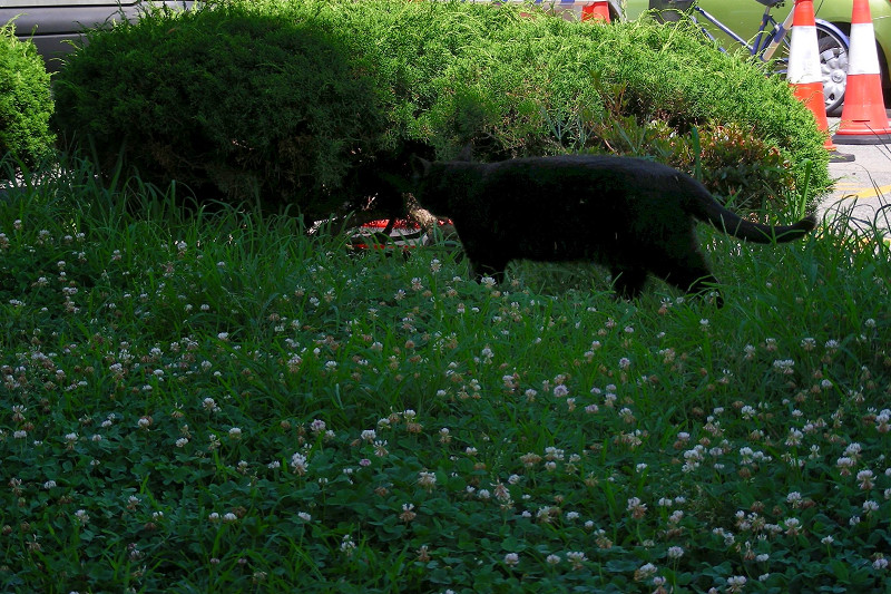 草地を歩く黒猫1