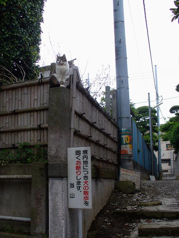 石柱に登ったキジ白猫1