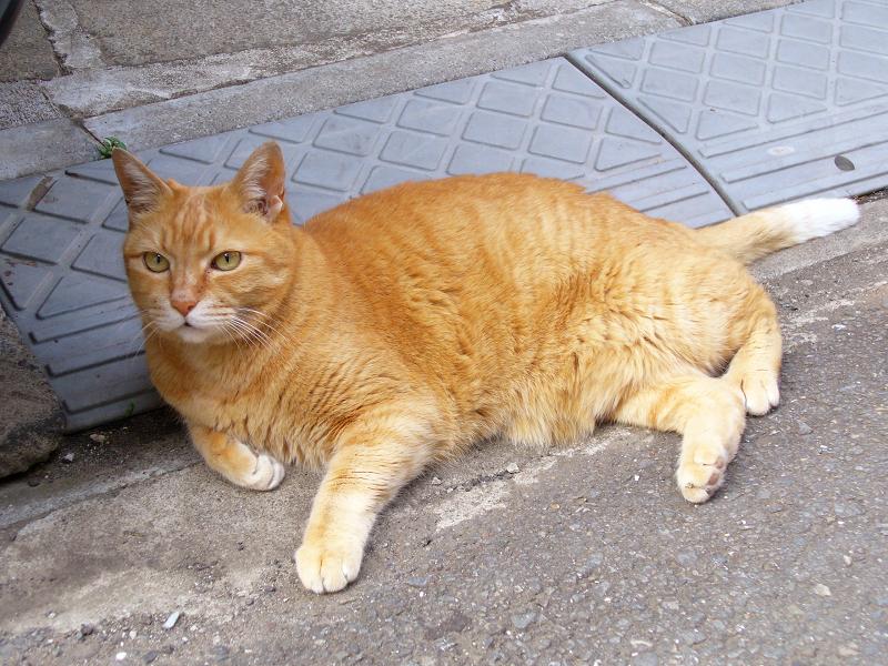 デカくて大きい茶トラ猫1