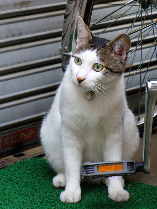 シャッターと白キジ猫1