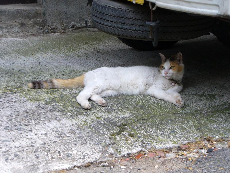 スペアタイヤと白三毛猫1