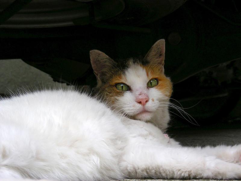 スペアタイヤと白三毛猫2