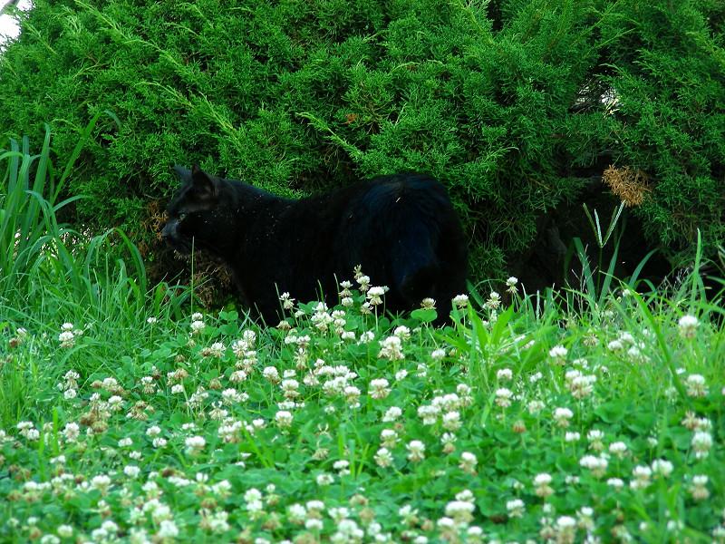 草地を歩く黒猫2