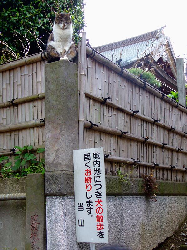 石柱に登ったキジ白猫2