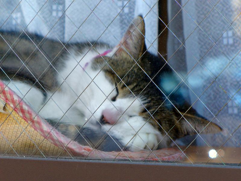 窓ガラス越しのキジ白猫2