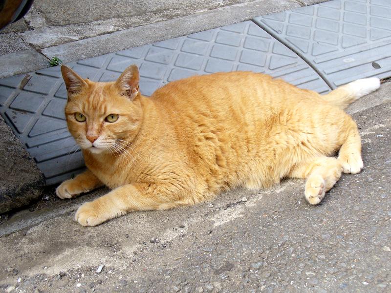 デカくて大きい茶トラ猫2