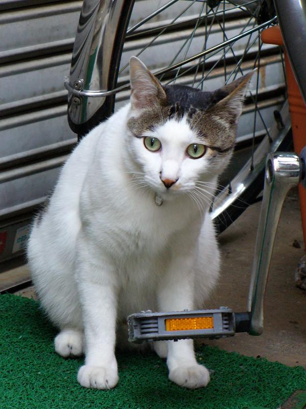 シャッターと白キジ猫2