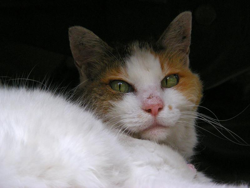 スペアタイヤと白三毛猫3