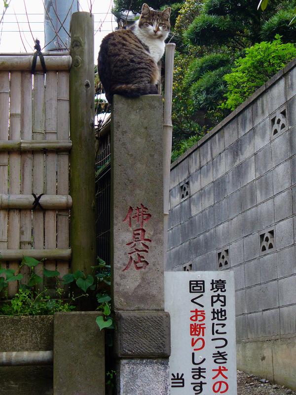 石柱に登ったキジ白猫3