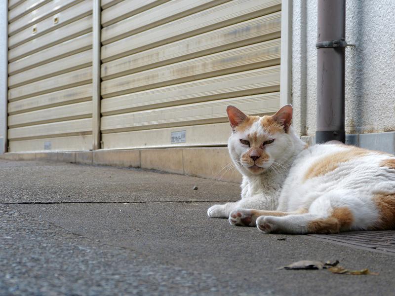 シャッター前の白茶猫1