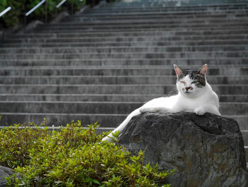 階段と岩と白キジ猫1