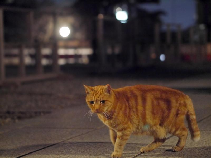 外灯とアメショー風猫1