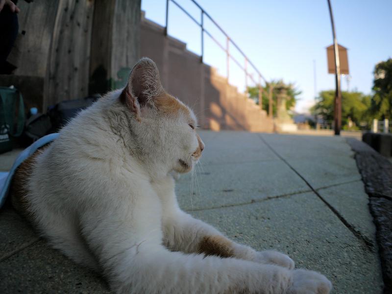 冷感シートと白茶猫2