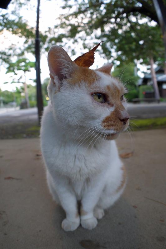 頭に葉っぱを乗せた白茶猫2